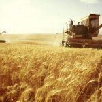 Над 40% от ожънатата пшенице в ЕС не става за брашно