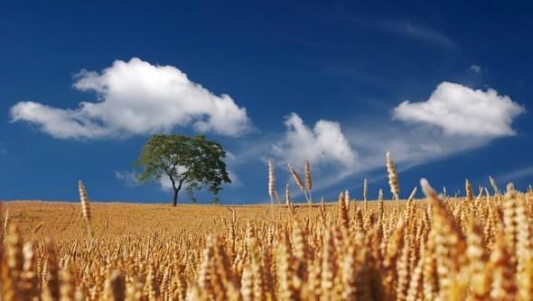 България изнася пшеница за най-големия производител в ЕС