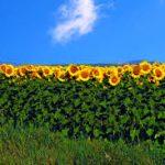 НАЗ парира манипулации на слънчогледовия пазар