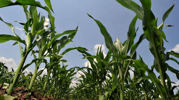 Понижаване на добивите от царевица очакват френските фермери