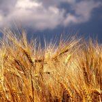 Нов модел за прогнозиране на зърнените цени