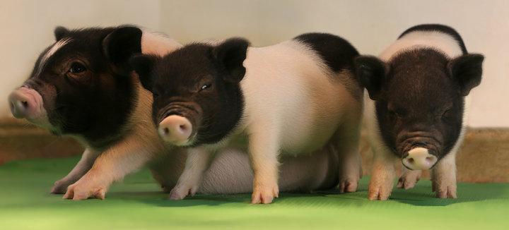 Учени създадоха прасета, чиито органи са подходящи за хора
