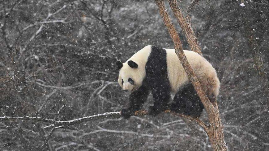 Първият сняг донесе забава за големите панди в Китай
