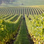 Как европейските винопроизводители се борят с климатичните промени